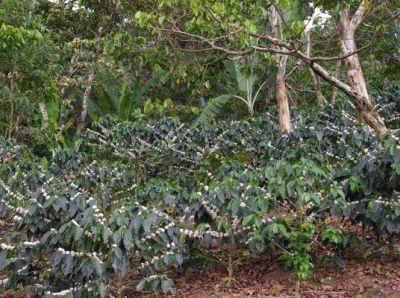 Honduran Marcala Coffee