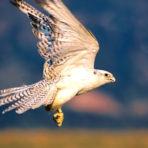 Sulawesi Toraja White Eagle