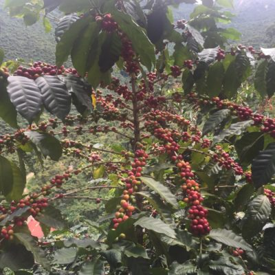 Guatemalan – La Rinconada